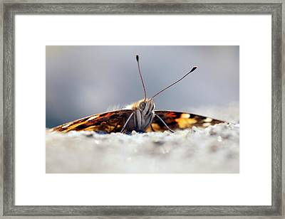 Painted Lady Butterfly Framed Print by Alex Hyde