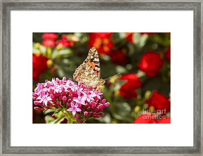 Painted Lady Butterfly Framed Print by Eyal Bartov