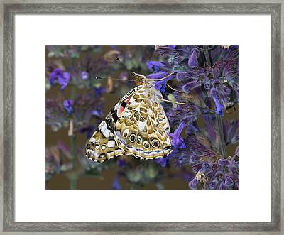 Painted Lady Butterfly Netherlands Framed Print by Frans Hodzelmans