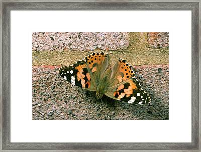 Painted Lady Butterfly Framed Print by Nigel Downer