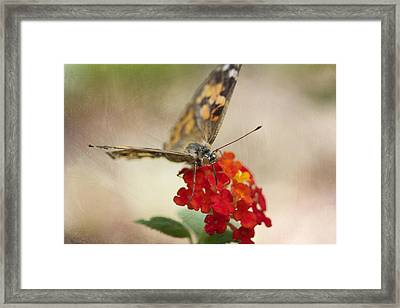 Painted Lady Framed Print by Pamela Gail Torres