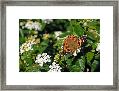 Painted Lady Framed Print by Skip Willits
