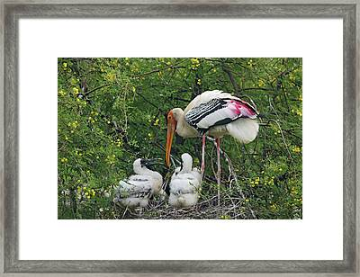 Painted Stork & Young Ones,keoladeo Framed Print by Jagdeep Rajput