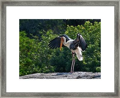 Painted Stork Drying Its Wings Framed Print