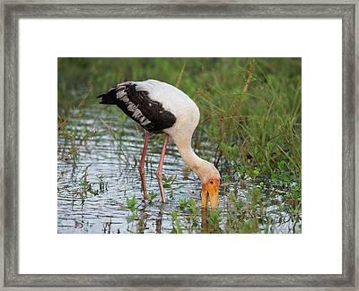 Painted Stork Feeding Framed Print