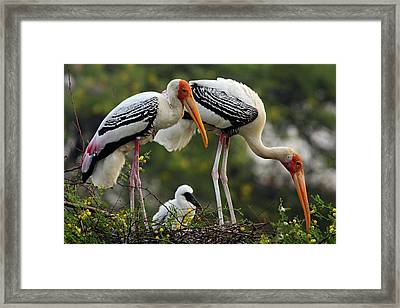 Painted Storks & Young One Framed Print by Jagdeep Rajput