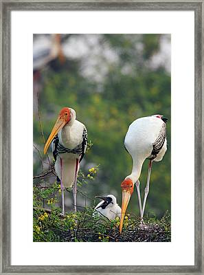 Painted Storks And Youngone,keoladeo Framed Print by Jagdeep Rajput