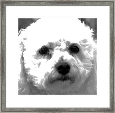 Framed Print featuring the photograph Painterly Bichon Frise by Patrice Zinck