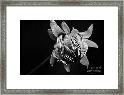 Painterly Dahlia Bud In Black And White Framed Print by Kaye Menner