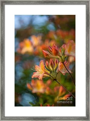 Painterly Rhodies Framed Print by Mike Reid