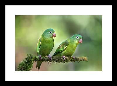 Parakeet Photographs Framed Prints