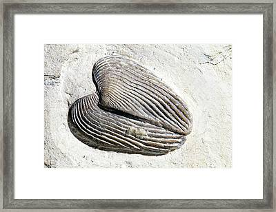 Pair Of Aptychi (lamellaptychi) Framed Print