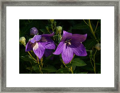 Pair Of Balloon Flowers Framed Print by Douglas Barnett