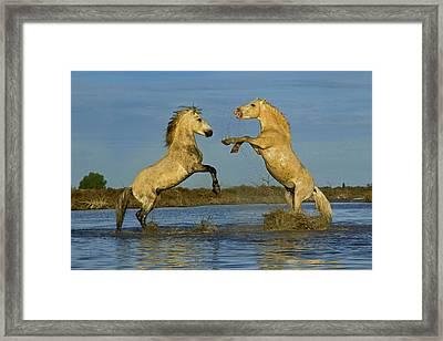 Pair Of Camargue Horse Stallions Framed Print by Adam Jones