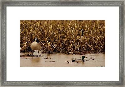 Pair Of Canada Geese And Teal Duck Framed Print by Rosemarie E Seppala