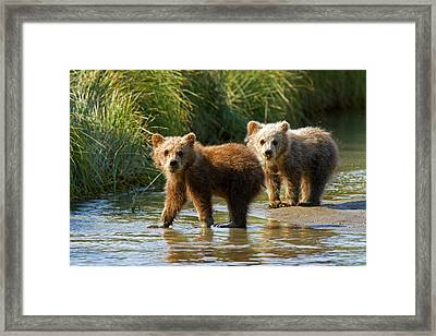 Pair Of Cubs Framed Print