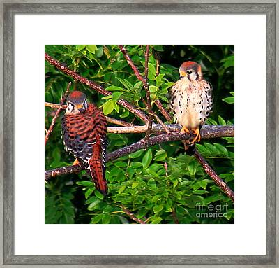 Caribbean Falcons Framed Print by The Art of Alice Terrill