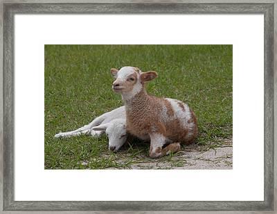 Pair Of Lambs Framed Print by Richard Baker