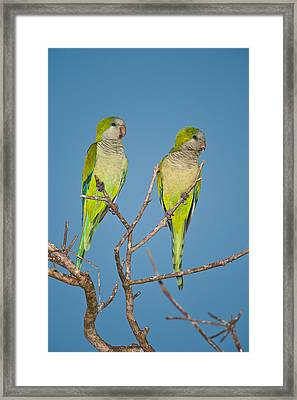 Pair Of Monk Parakeets Myiopsitta Framed Print