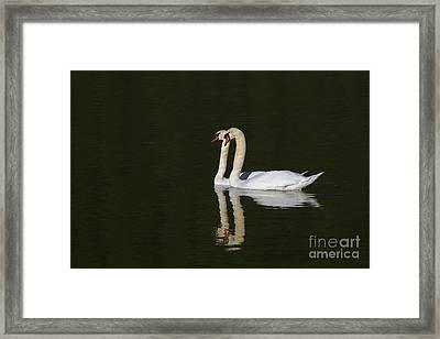 Pair Of Mute Swans Framed Print