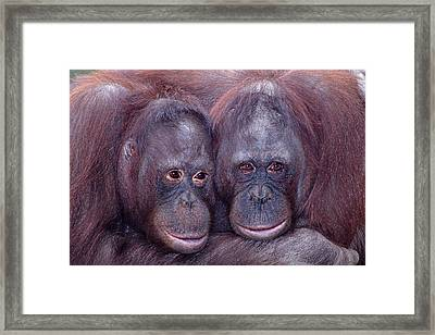 Pair Of Orangutans Framed Print