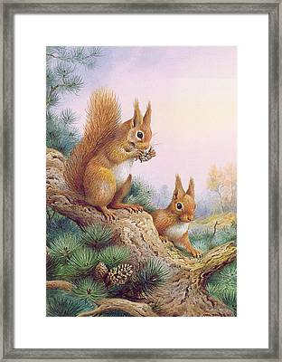 Pair Of Red Squirrels On A Scottish Pine Framed Print by Carl Donner