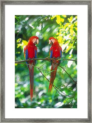 Pair Of Scarlet Macaws Framed Print by Art Wolfe