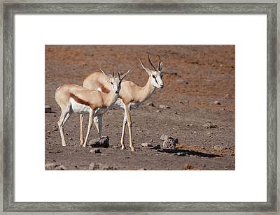 Pair Of Springboks (antidorcas Framed Print
