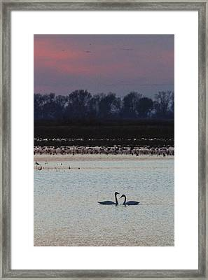 Pair Of Swan At Sunset Framed Print
