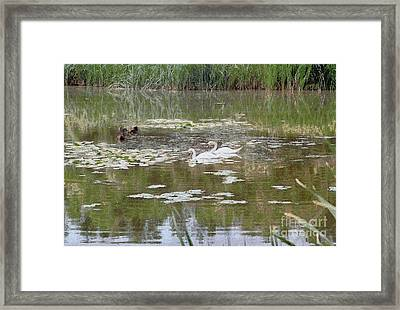 Pair Of Swans Framed Print by Odon Czintos