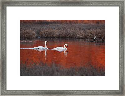 Pair Of Trumpeter Swans Swim In Potter Framed Print by Doug Lindstrand