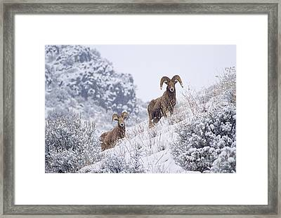 Pair Of Winter Rams Framed Print