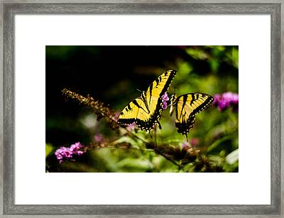 Pair Of Yellow Swallowtails Framed Print