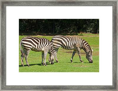 Framed Print featuring the photograph Pair Of Zebras by Charles Beeler