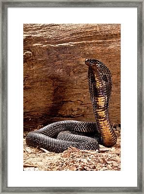 Pakistani Black Cobra, Naja Naja Framed Print