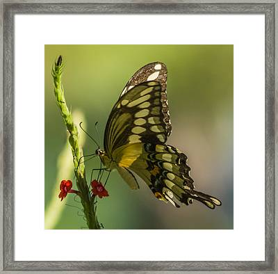 Framed Print featuring the photograph Palamedes Swallowtail by Jane Luxton