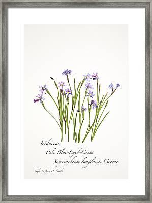 Pale Blue-eyed Grass Framed Print