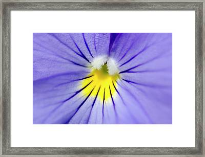 Pale Blue Pansy Abstract Framed Print by Nigel Downer