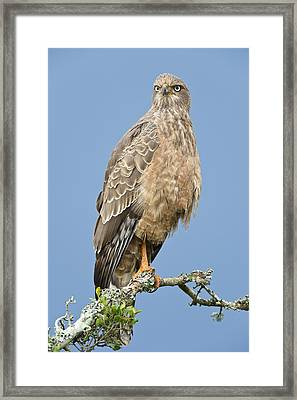 Pale Chanting Goshawk Framed Print by Science Photo Library