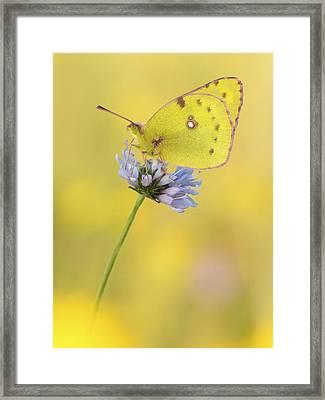 Pale Clouded Yellow Butterfly On Flower Framed Print by Arik Siegel