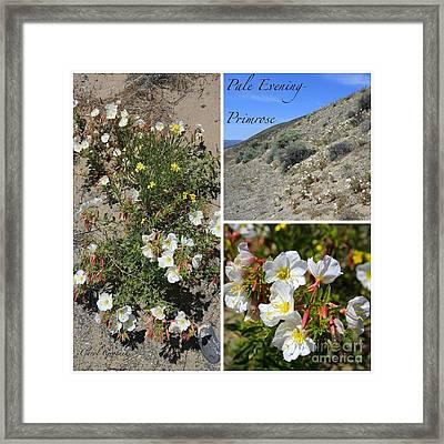 Pale Evening-primrose Framed Print