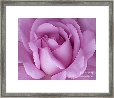 Pale Magenta Rose Framed Print
