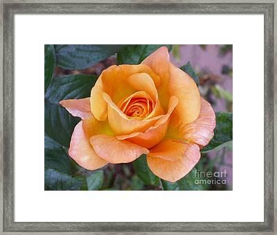 Pale Orange Rose Framed Print