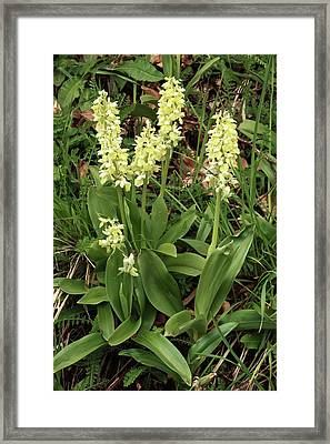 Pale Orchids (orchis Pallens) In Flower Framed Print by Bob Gibbons