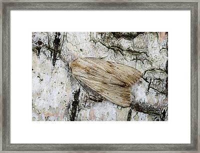 Pale Pinion Moth Framed Print