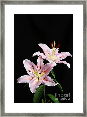 Pale Pink Asiatic Lilies Framed Print by Judy Whitton