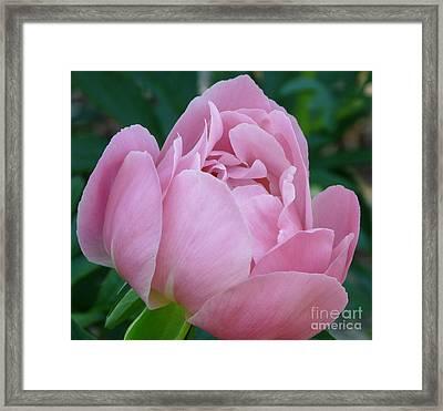 Pale Pink Peony Framed Print by Avis  Noelle