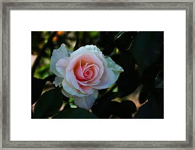 Pale Pink Framed Print by Richard Stephen