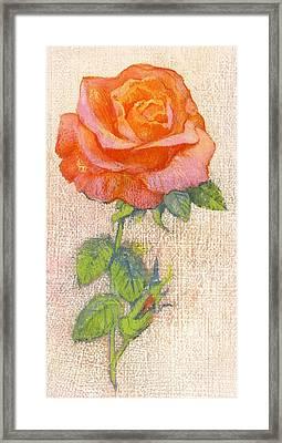 Pale Rose Framed Print by George Adamson