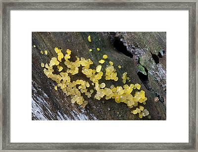 Pale Stag' S Horn Fungus Framed Print
